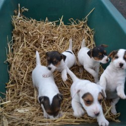 5-jack-russell-pups-3-girls-2-boys-58492cacd5623