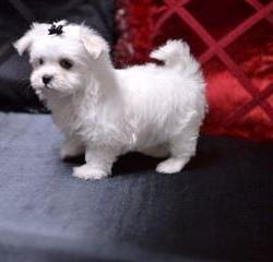 Teacup-Maltese-Puppies-For-Sale-1