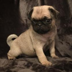stunning-french-bulldog-puppies-5874f1ddad8b3