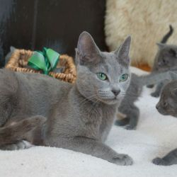 russian-blue-tica-reg-kittedd