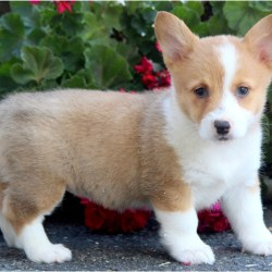 welsh-corgi-pembroke-puppy-picture-3f4b7662-2a04-4314-9f9b-d03d7c31a5bb