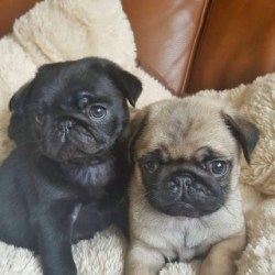pug-puppies-5adf1858a122f