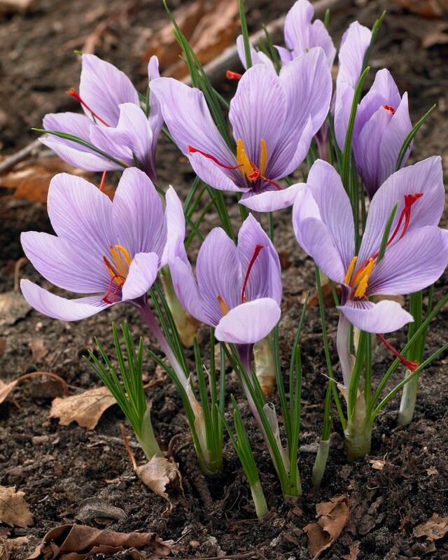 Crocus autumn flowering 'Sativus' (Saffron Crocus) Crocus ...