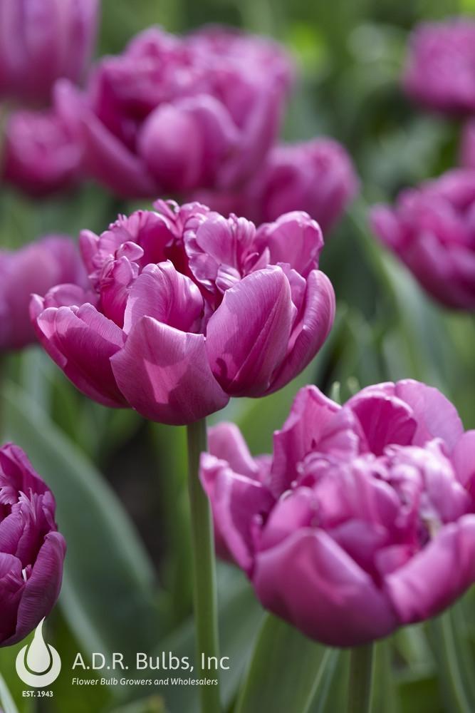 Tulipa Double Early Double Flag Tulip From ADR Bulbs