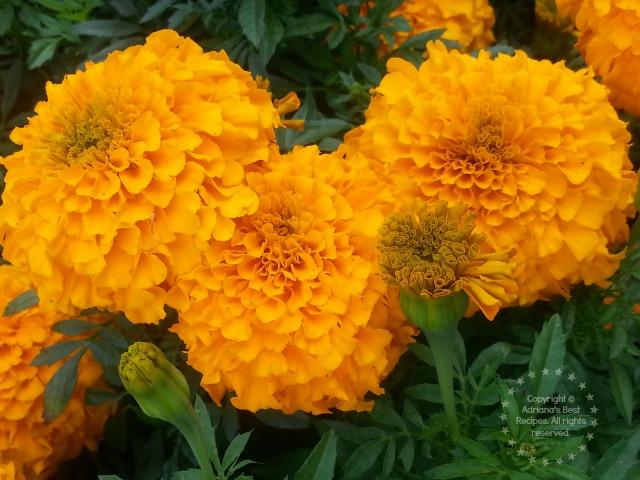 cempasuchil flower