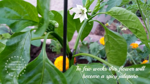 In few weeks this flower will become a spicy jalapeño #MiJardinalidad #ad
