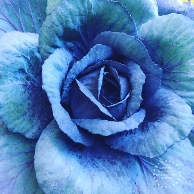 Blue Cabbage from Illinois