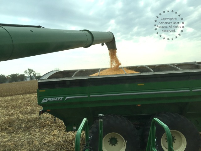 Harvesting corn for cattle feed in a farm near Chicago