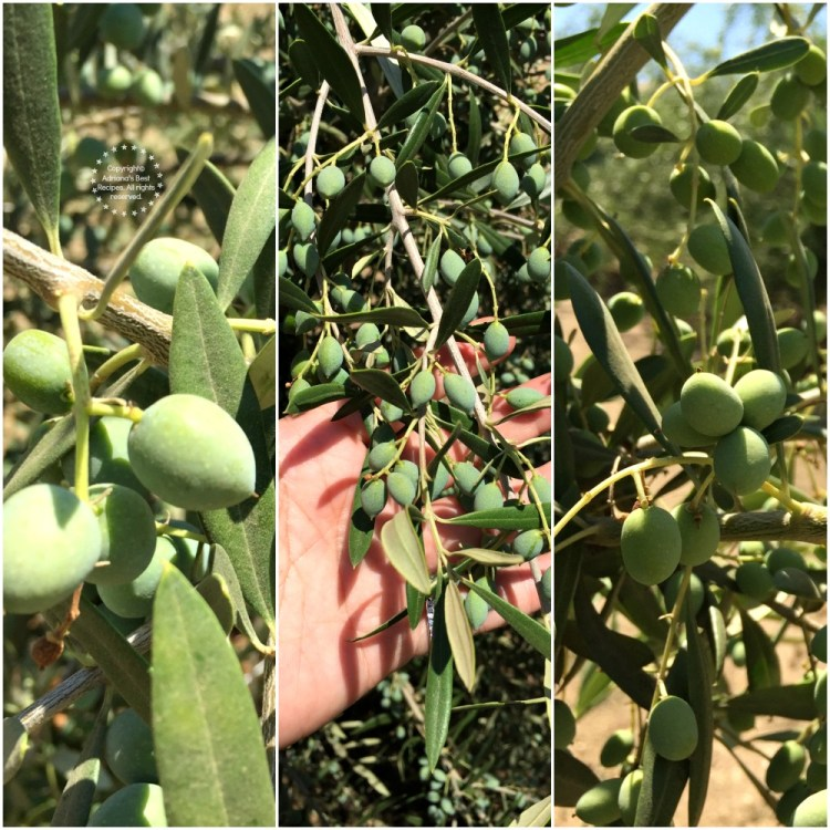 Capay Valley Ranch Olives