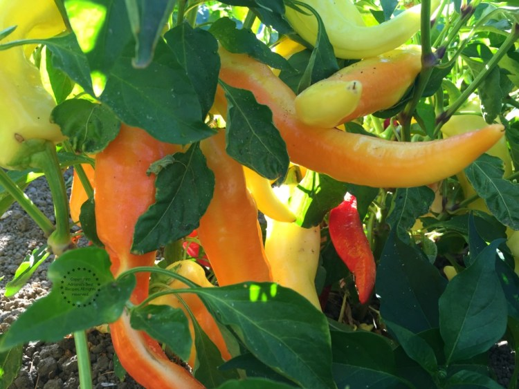 Chiles Banana Peppers