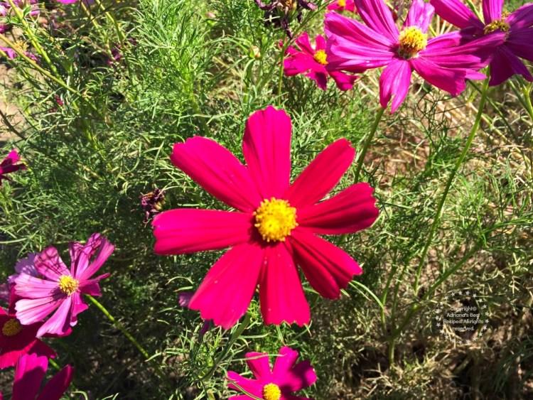 Flores que ayudan a atraer abejas y mariposas para polinización
