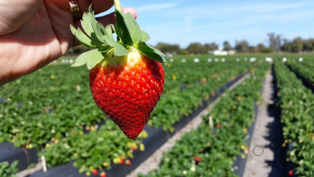 Florida strawberries are in season now