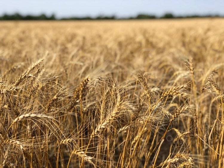 Wheat Harvest Tour in Kansas