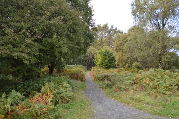 Ferns changing colour in early autumn on Cannock Chase.