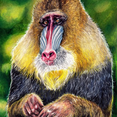 Mandrill ///Farbstift