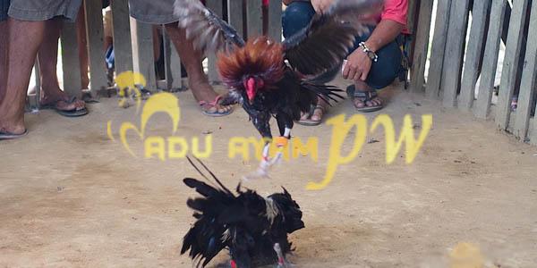Trik Mengobati Sabung Ayam Taji Otot Keram dan Lumpuh