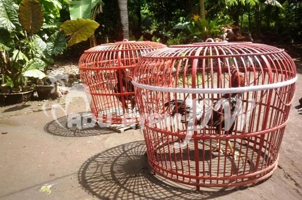 Inilah Beberapa Manfaat Menjemur Ayam Saat Pagi Hari