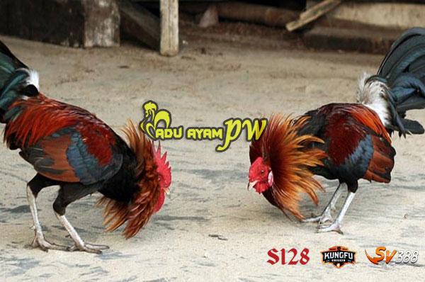 Cara Untuk Menang Dalam Game Sabung Ayam