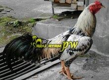 Mengenal Ayam Birma dari Myanmar