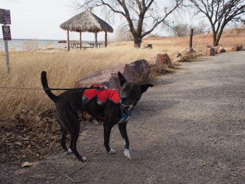 black dog wearing red vest in Foss Park