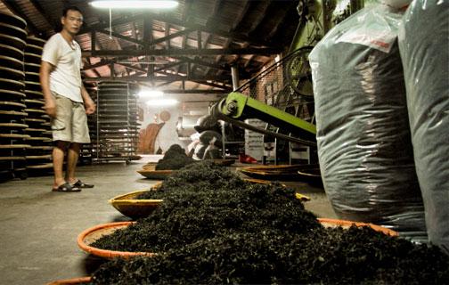 Tea Tasting and Visit a Tea Factory