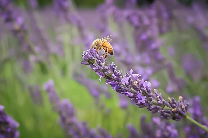 Terre Bleu Lavender Farm 5