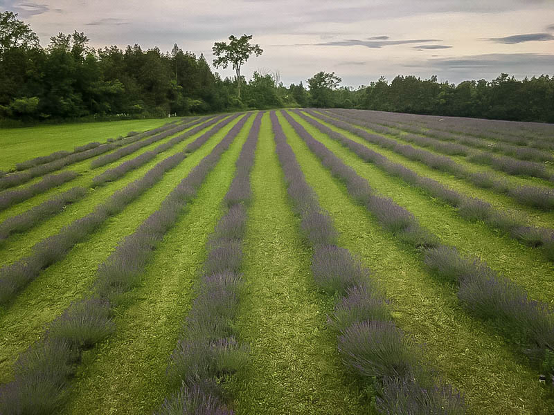 Terre Bleu Lavender Farm Fields