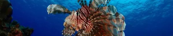 Lionfish on scuba dive in Rarotonga