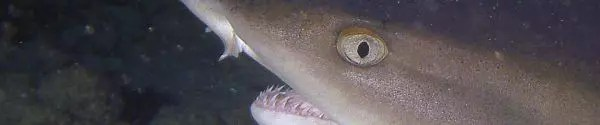 Whitetip reefshark on dive in Rarotonga
