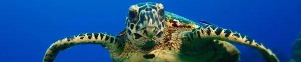 Rarotomnga turtle