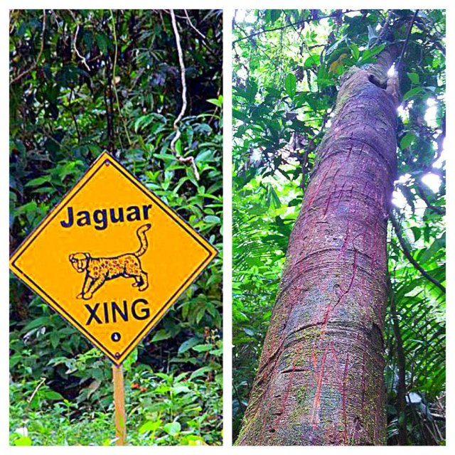 Belize Jungle Jaguar Markings on Tree and Jaguar Crossing Belize Jungle Top 10 Cockscomb Basin Wildlife Sanctuary Jaguar Reserve