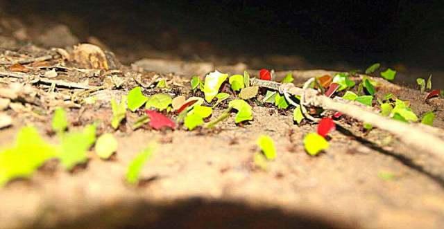 Belize Jungle Leafcutter Ants Belize Cockscomb Basin Wildlife Sanctuary Jaguar Reserve