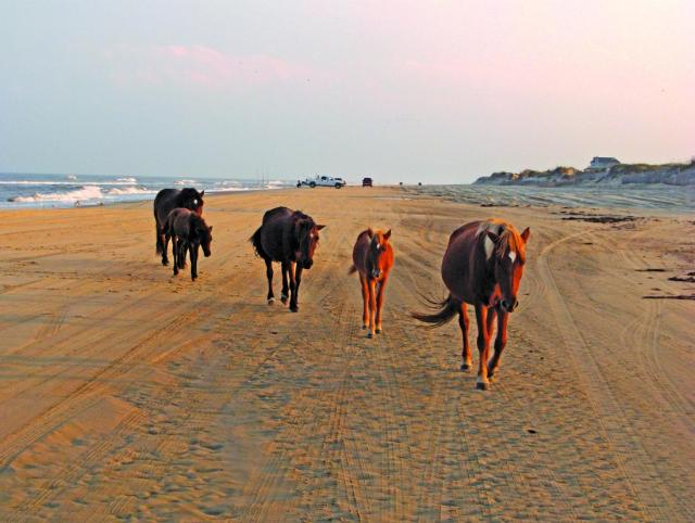 Wild Horses, Corolla, North Carolina