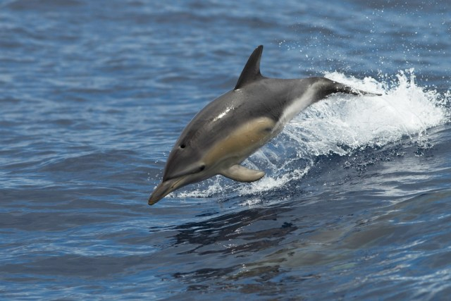 Dolphins jumping in the ocean - outer banks dolphin tours