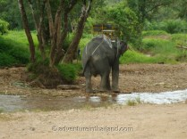 Surat-Thani-Elephants3