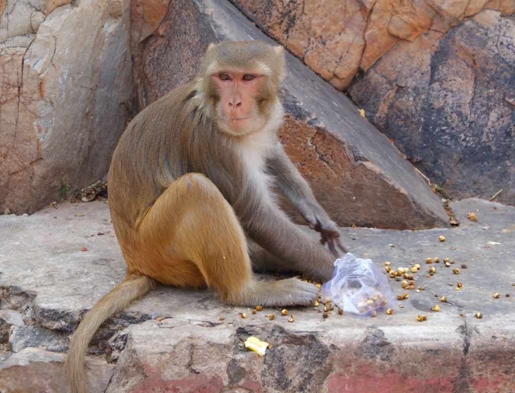 Monkey eating treats.