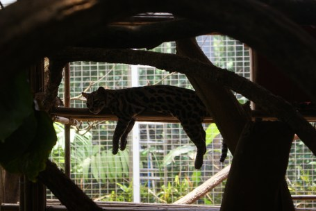 Ocelot hanging out