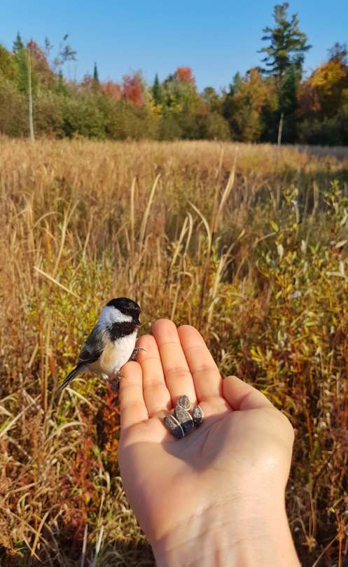 Feeding the chickadees while hiking on Greenbelt trails.