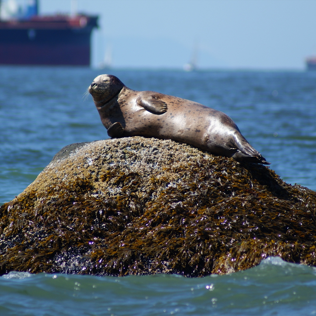 Seal chilling on a rock at low tide.