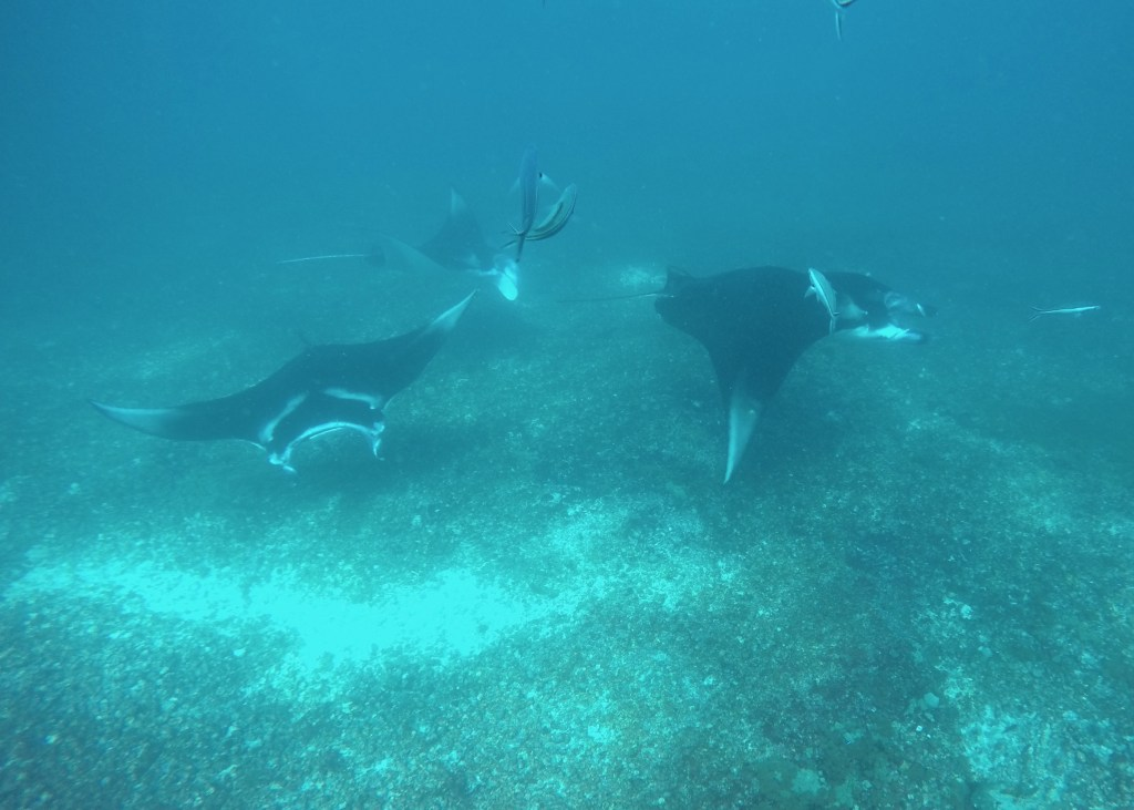 Diving with giant manta rays.