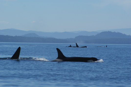 Killer Whales off Vancouver Island