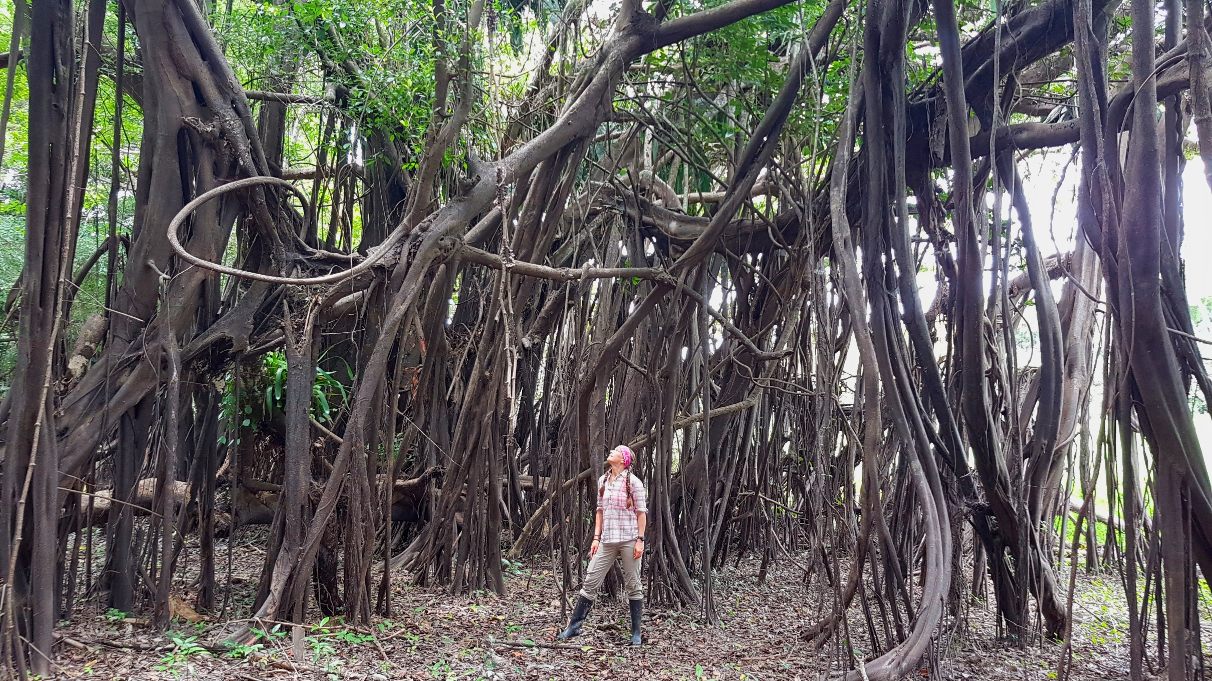 Trees in the low lying rain forest resemble a mangrove forest.