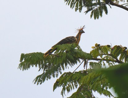 Crazy looking bird called the Hoatzin.