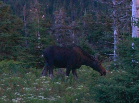 A moose grazing at dusk.