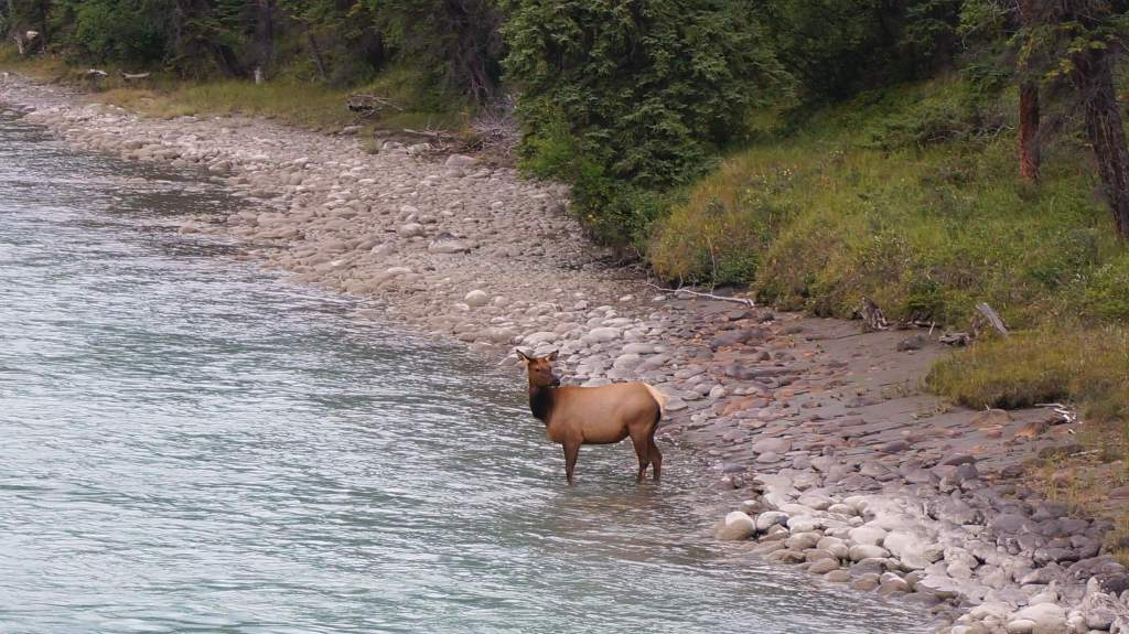 I watched a small herd of elk swim across the Athabasca River while driving Maligne Lake Rd.