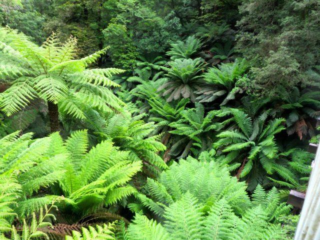 Ferns at Tara Bulga National Park