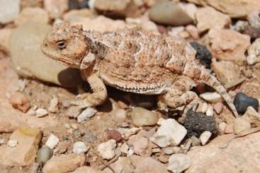 Watch your step! - Horned Lizard at Lee's Ferry, AZ