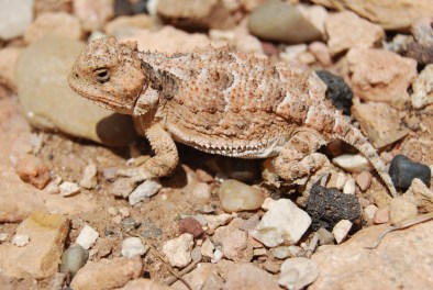 Watch your step! - Horned Lizard at Lee's Ferry, AZ