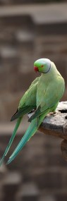 Rose-ringed parakeets - Chand Baori Step Well, Abhaneri, India