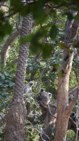 Black face langurs - Ranthambore National Park, India